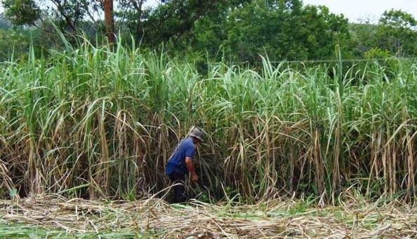 Apuestan a la producción de alcohol para que el ingenio de San Javier sea sustentable