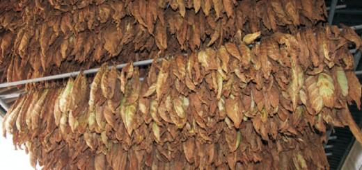 Mañana pagan a productores tabacaleros más de 25 millones de pesos