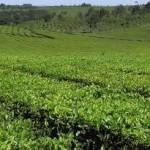 Exportaciones de yerba y té: la inflación le ganó la pulseada a la devaluación