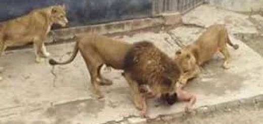 Un hombre se tiró a la jaula de los leones para quitarse la vida