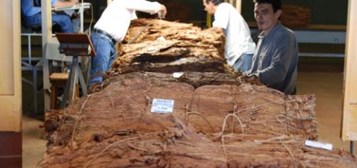 Buscan imponer la siembra temprana y un cupo mínimo de entrega en el sector tabacalero