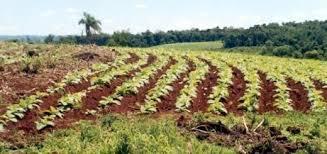 El sector tabacalero implementa un plan para lograr la sustentabilidad del cultivo