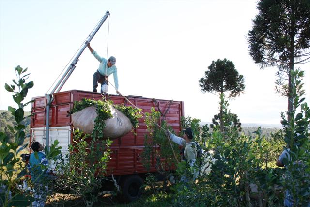 El lunes habrá registro de productores de yerba mate y entrega de certificados de insumos en El Soberbio