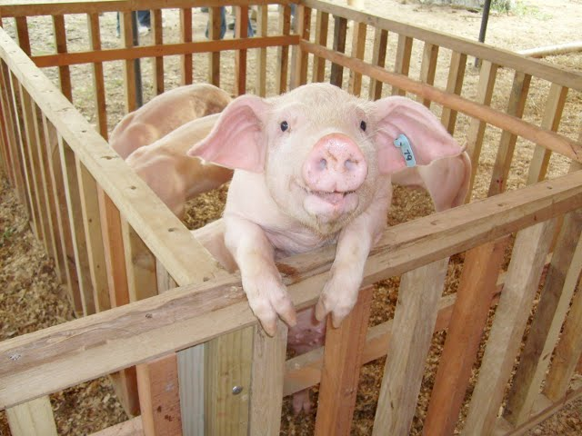 Misiones participará del XIII Congreso Nacional de Producción Porcina