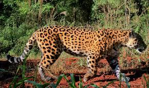Destacan que aumentó la población de yaguareté en Misiones en los últimos tiempos