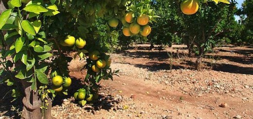 El 11 de julio comenzará el monitoreo de plantaciones de cítrus