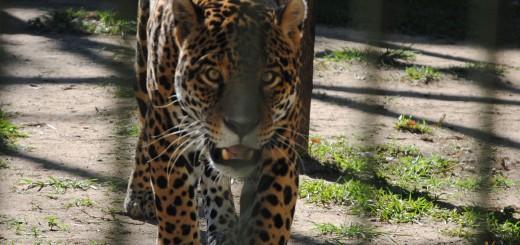 Nahuel y Tobuna tendrán compañía: llegará un yaguareté paraguayo al Iberá