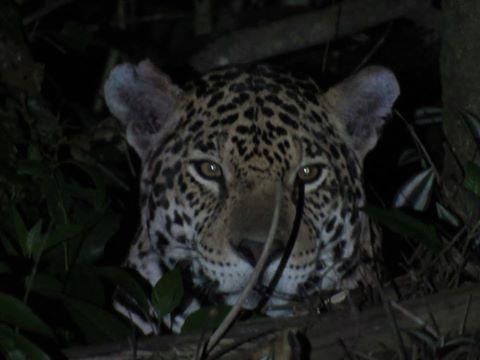 Lograron filmar a dos yaguaretés en el Parque Nacional Iguazú