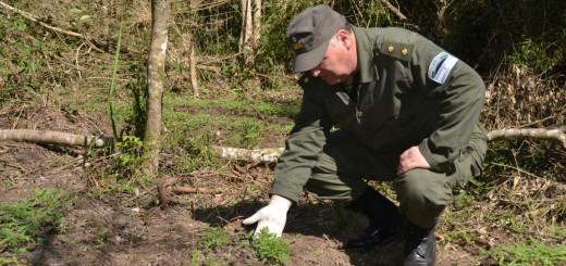 Gendarmería Nacional incautó 10.790 plantines de marihuana en Capioví