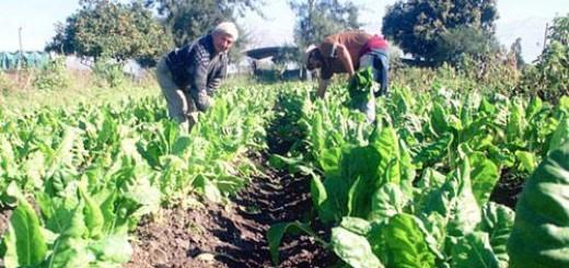 Mañana pagarán más de 30 millones a productores tabacaleros