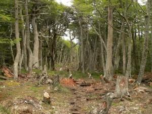 Condena ejemplar: Más de un año de prisión a dos ingenieros por tala ilegal dentro de un Parque Nacional