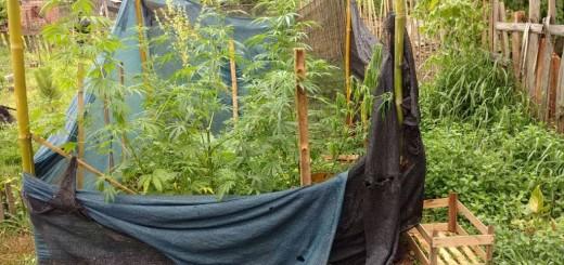 Apóstoles: detienen a un joven que tenía una plantación de marihuana en su huerta