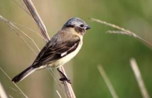 Descubren una nueva especie de ave en el Iberá y ya se encuentra en peligro de extinción