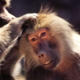 Desgarrador video: un orangután se enfrenta a una excavadora que destruye su hábitat