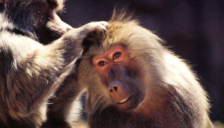 Más de la mitad de las especies de primates del planeta están en peligro de extinción