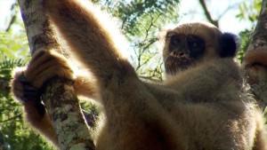 El muriquí del Norte es endémico de la Mata Atlántica brasileña  y una de las 25 especies de primates más amenazadas del planeta
