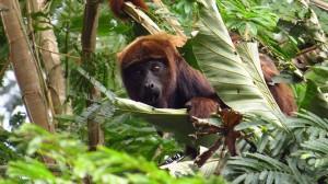 Brasil: Universidad Federal de Espíritu Santo confirma el mayor número de muerte de monos en 30 años en el Estado
