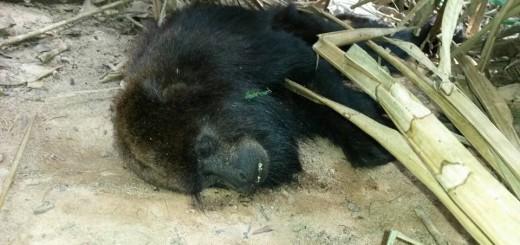 Brasil: Gobierno de Espíritu Santo confirmó más muerte de monos por fiebre amarilla