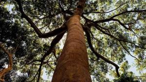 Talar los bosques nativos con manejo selectivo ayuda a los árboles restantes a absorber más CO2
