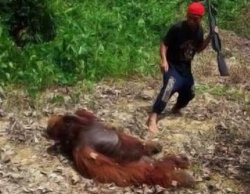 Mataron y se comieron a un orangután en Indonesia: Están en peligro de extinción