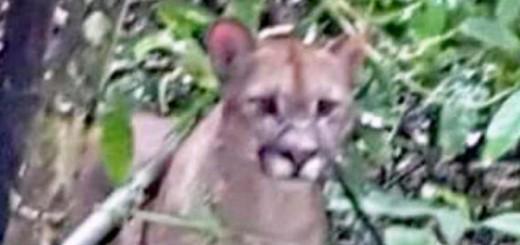 Avistaron un puma en el Parque Nacional Iguazú