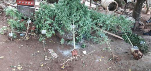 Huerta narco: incautaron plantas de marihuana en distintos operativos realizados en San Ignacio y Oberá