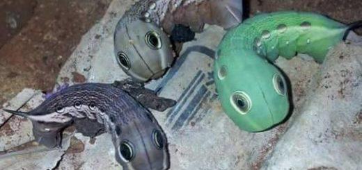 Ahora aparecieron extraños gusanos en Colonia Victoria