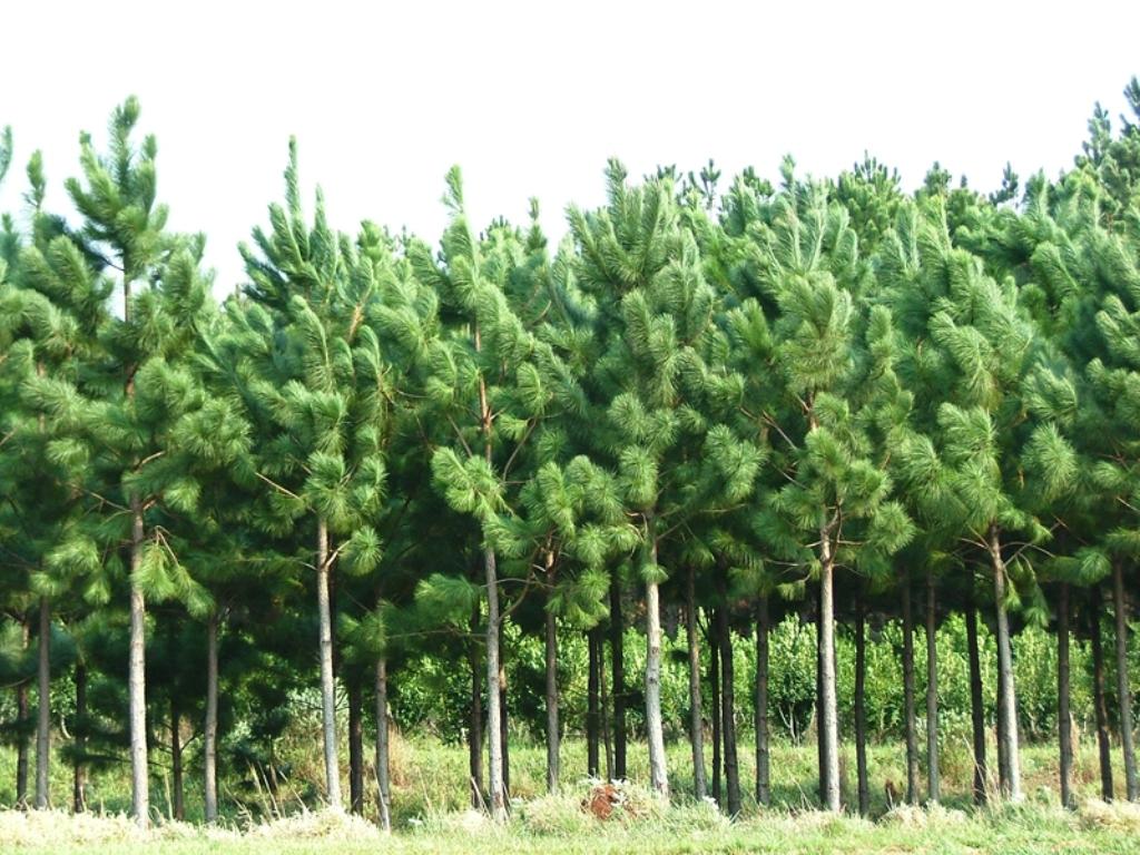 Debatirán en Eldorado sobre el futuro de los bosques cultivados