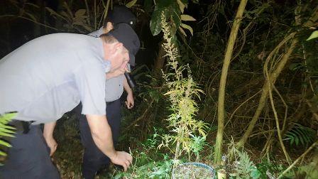 La Policía de Misiones incautó plantas de marihuana en operativo de monte
