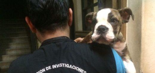 Recuperaron un perro Bulldog inglés que había sido sustraído en Posadas