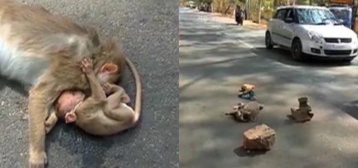 Video: Una cría de mono llora junto al cuerpo de su madre