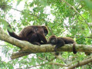 Brasil: La biodiversidad de la selva paranaense está amenazada frente a la mortandad de monos causada por la epidemia de fiebre amarilla