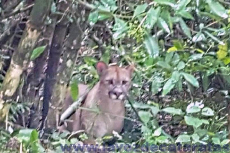 Ecología ofreció todos sus recursos a Parques Nacionales para lograr la aprehensión del puma
