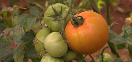 Trabajan en un Programa de fortalecimiento de capacitaciones basadas en cebolla, pimiento y tomate