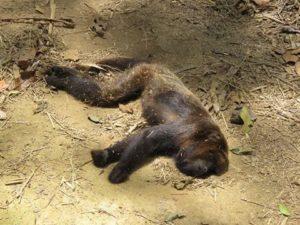 Desastre ambiental en Brasil: por la fiebre amarilla ya se registran 4.240 monos muertos