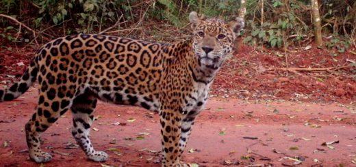 Científicos de la Argentina, Italia y España elaboraron un plan para recuperar y mantener el entorno natural del yaguareté y otros animales nativos de la selva misionera