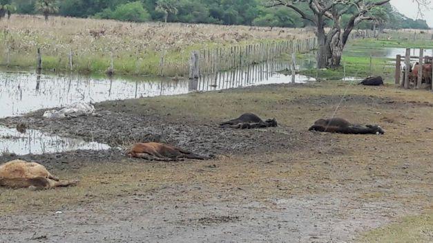 Corrientes en extrema emergencia: millonarias pérdidas, cientos de evacuados por las inundaciones y ya se murieron 50 mil cabezas de ganado bovino por falta de alimentos