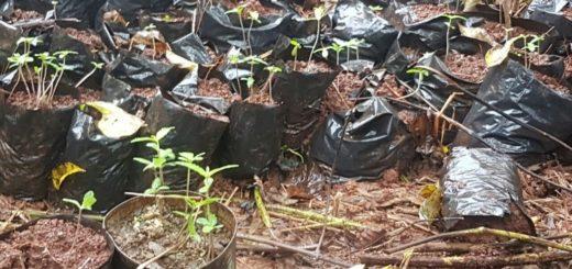 """""""Operativo Jardín Florecido"""": secuestraron más de 3200 plantines de marihuana en San Ignacio"""
