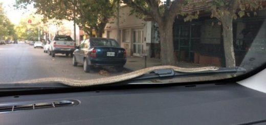 Neuquén: una mujer abandonó su auto en marcha al ver una culebra en el parabrisas