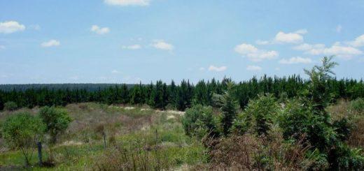 Corrientes cuenta con el único campo de plantación forestal del país que compensa las emisiones de carbono