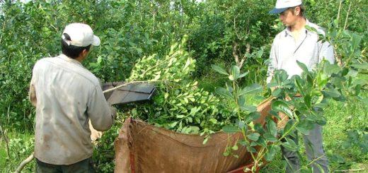 Denuncian que la Cooperativa de Montecarlo compra yerba a Brasil
