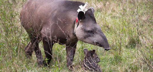 Iberá: Nació el primer tapir en libertad en 40 años
