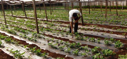 Ferias Francas: anticipan que las heladas dañaron cultivos incluso los que están en invernadero