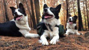 La increíble hazaña de tres perras que siembran áreas naturales para recuperar los bosques incendiados de Chile