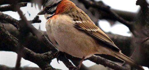 Mendoza: Detectan la venta ilegal de aves silvestres por Facebook