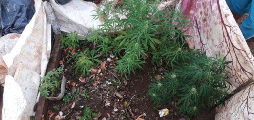 """San Javier: decía ser """"florista"""", pero en realidad se dedicaba al cultivo de marihuana para la venta"""