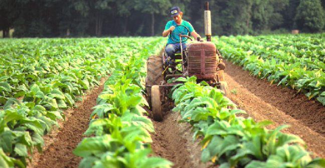 El Gobierno anunció que hoy viernes se abona tabaco burley y criollo