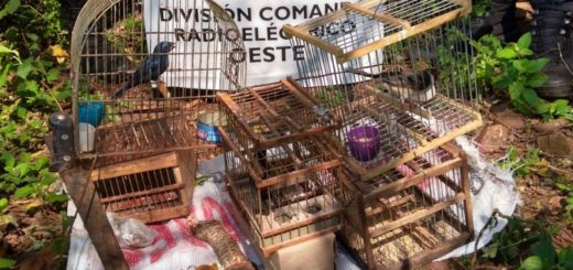 Sorprenden a dúo capturando aves autóctonas para la venta en Posadas