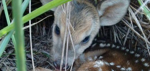 Nueva cría de venado pardo nació en el Parque El Puma y será liberado en un futuro próximo a un área protegida