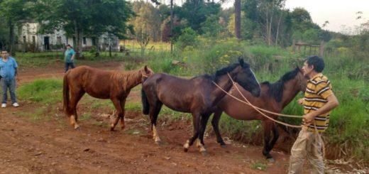 Investigan en Santa Ana el robo de caballos: hay dos hermanos en la mira